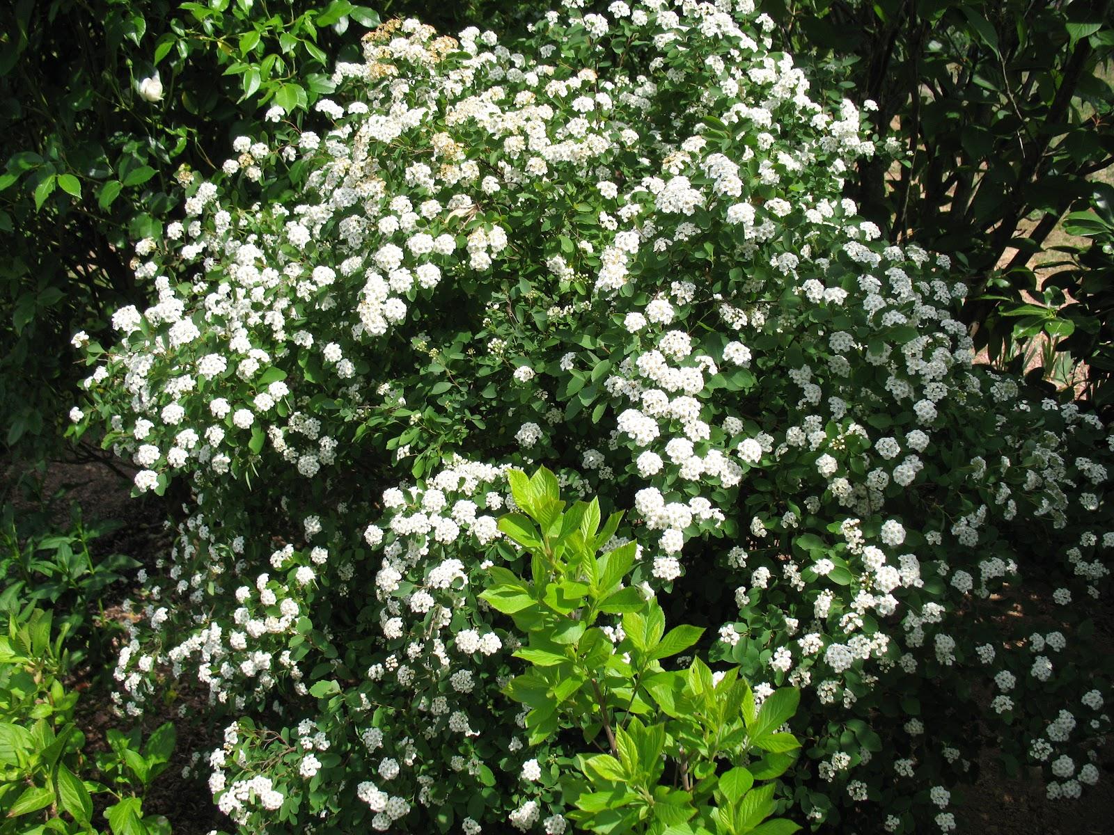 roses du jardin ch neland fleurs blanches du mois de mai. Black Bedroom Furniture Sets. Home Design Ideas