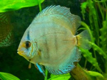 The discus fish cool freshwater aquarium fish for Cool fresh water fish