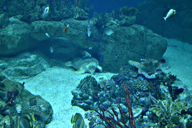 Snorkel the turtle in the Great Barrier Reef tank at the National Marine Aquarium in Plymouth