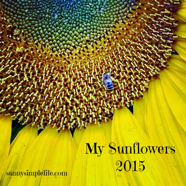 How to grow sunflowers and favorite varieties, bee on giant sunflower head