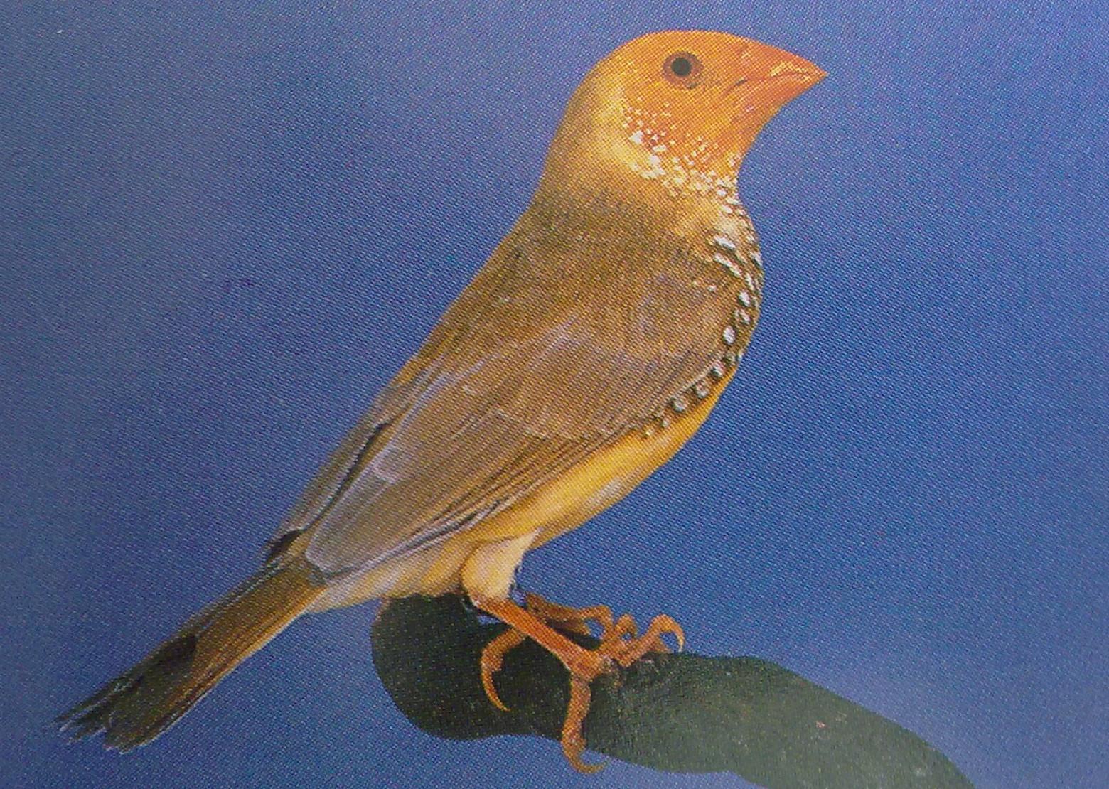 Yellow star finch - photo#23