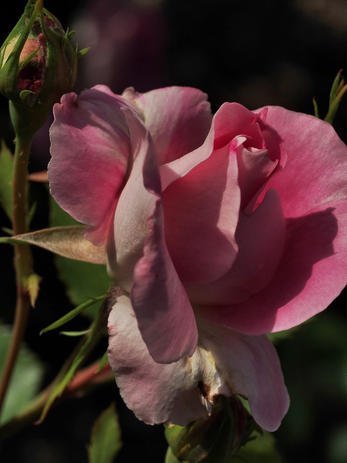 Rose Unfurling, #rose #roses #conservatorygarden #centralpark #nyc 2014
