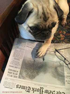 Liam the pug with the New York Times