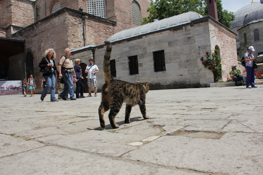 Cat from Istanbul