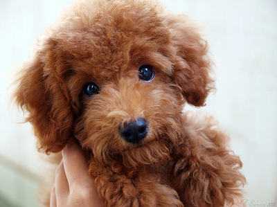 Simple Cutest Brown Adorable Dog - brown-cute-dog-poodle-puppycute+toy+poodle+puppies64262  You Should Have_418812  .jpg
