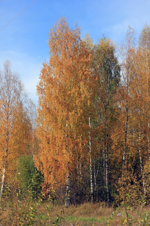 Осенние березки