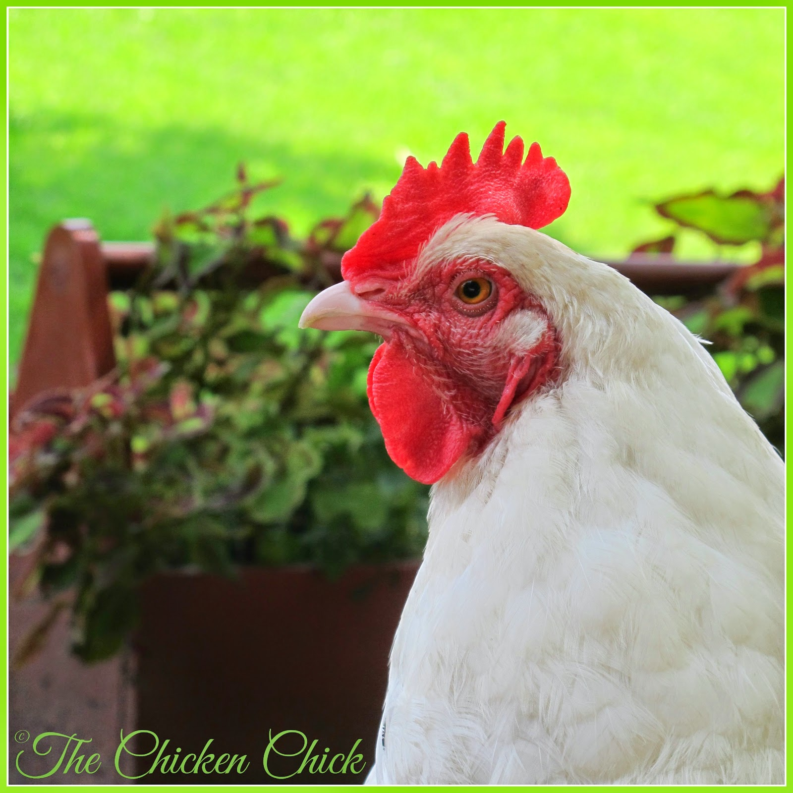 White Orpington (Marilyn Monroe) hen