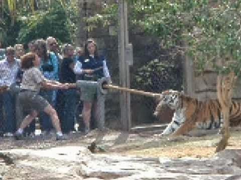 Atração que coloca humanos contra tigre, reúne visitantes em zoológico nos Estados Unidos