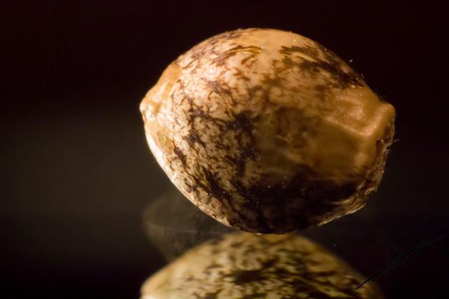 Fotografía macro de una semilla