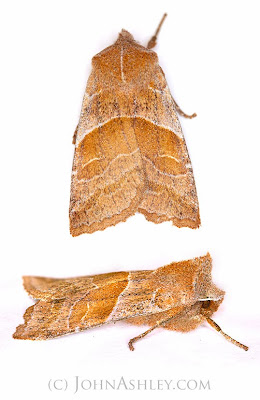 'Eupsilia fringata' moth (c) John Ashley