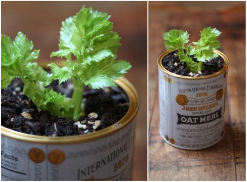 Regrowing+celery
