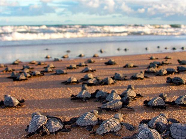 Mais de 36 mil filhotes de tartarugas marinhas foram protegidos na Bahia até junho (Foto: Divulgação/ONG PAT Ecosmar)
