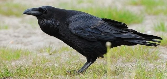 Crow Intelligence Rivals That Of  7-Year-Old Human