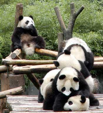 Six pandas while playing