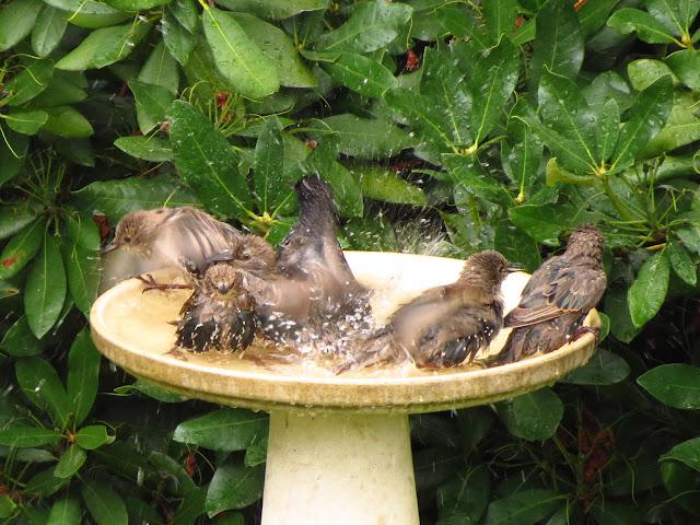 starlings splashing in bath