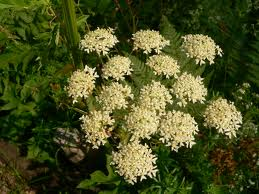 Crucea-pamantului (Heracleum mantegazzium)