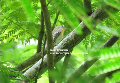 Mugimaki Flycatcher in Bidadari