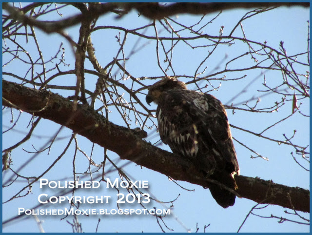 Image of young bald eagle sitting in a tree.