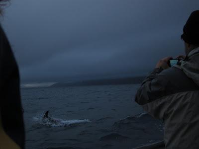Humpback whale in Husavik, Iceland