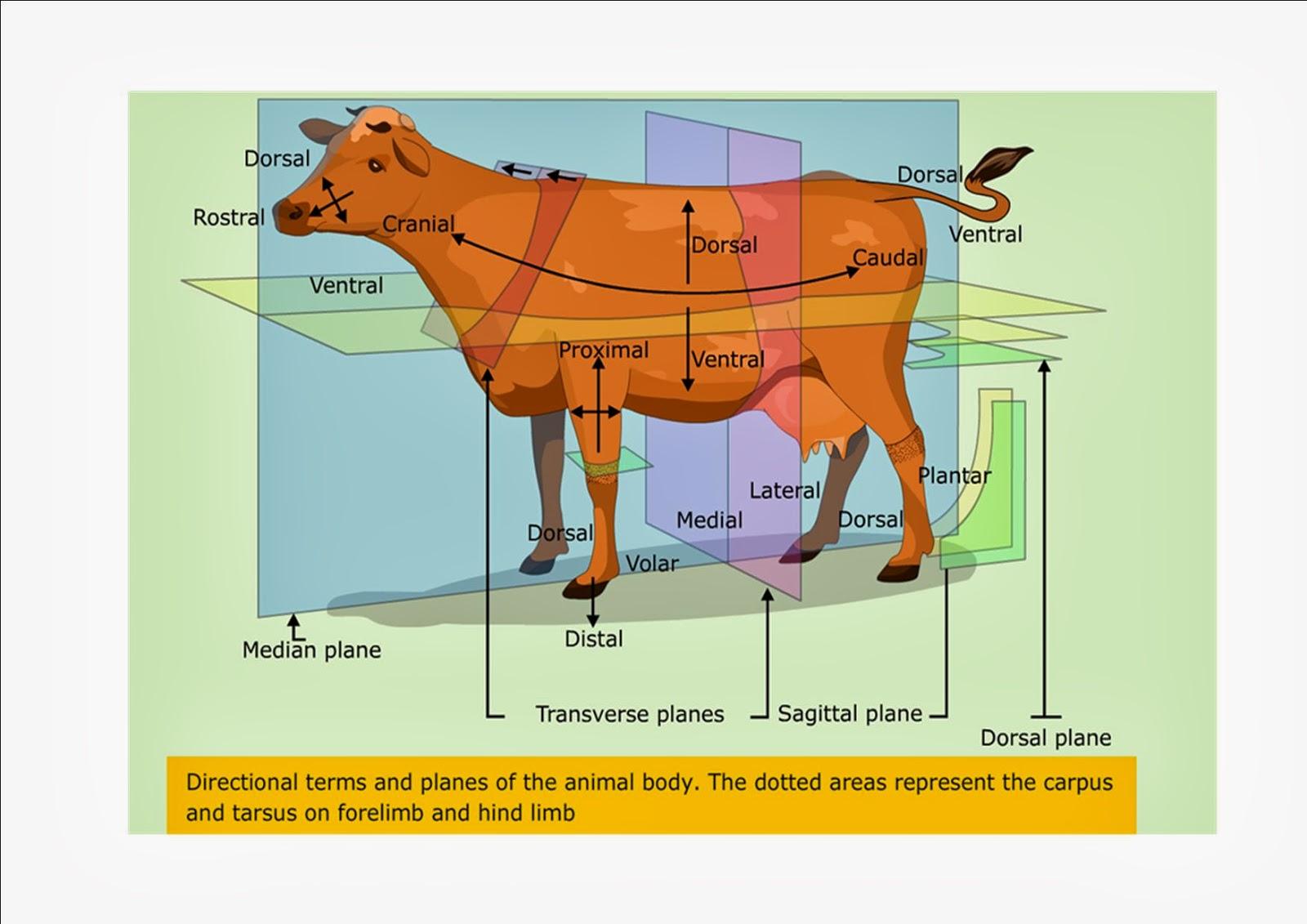 Veterinary Anatomy-111