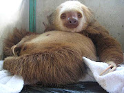 Not Just Sloths, Baby Sloths! I Hope Kristen Bell Has Some Kleenex.