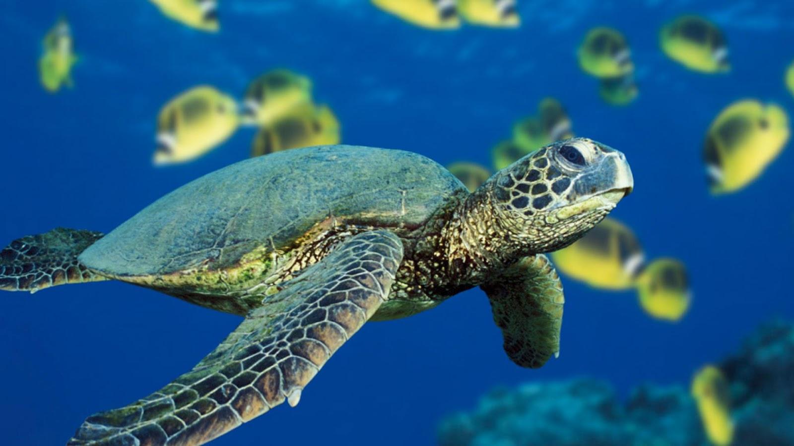 http://1.bp.blogspot.com/-s6et02PeCwo/UHa7BgsDbrI/AAAAAAAAGl8/2sjEKeU-lkw/s1600/Sea_Turtle_Wallpaper_2.jpg