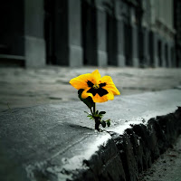 bright yellow pansy growing in gray sidewalk