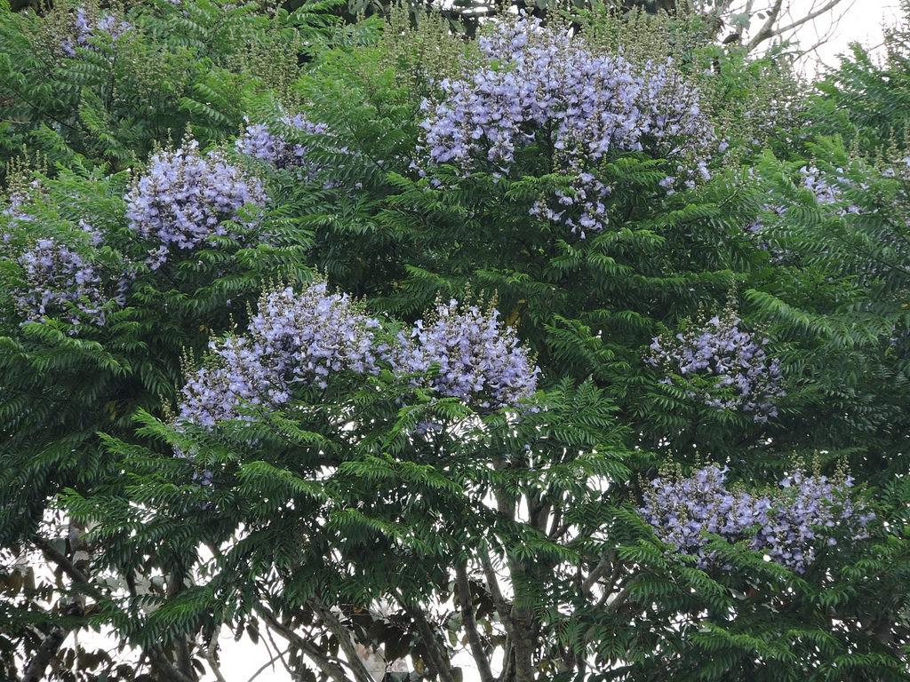 Q 39 planta essa jacarand copaia ou caroba do mato for Planta ornamental jacaranda