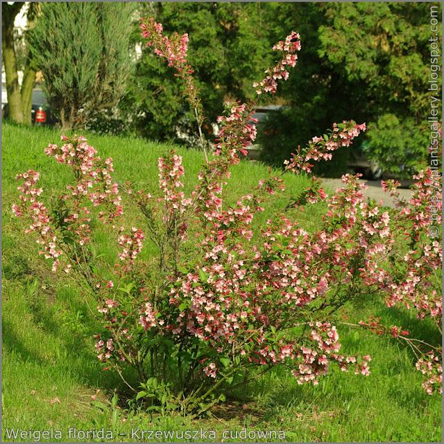 Weigela florida habit - Krzewuszka cudowna pokrój