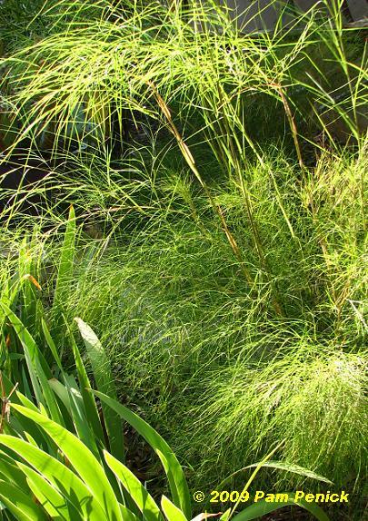 Bamboo Muhly2