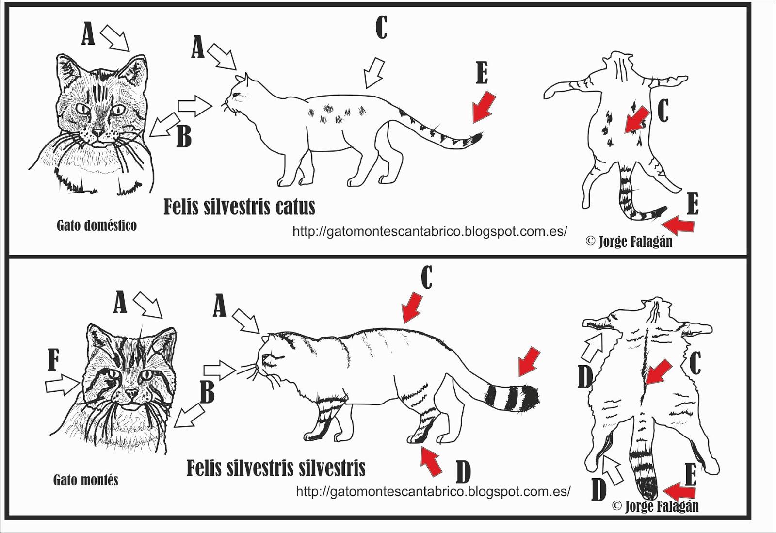 Proyecto Gato Montés (Wildcat project): Identificación de Gato ...