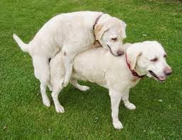 Dog having sex mating