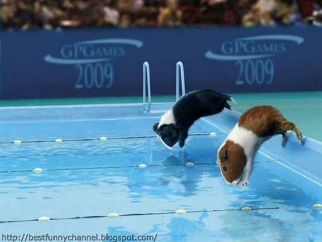 Guinea pigs swimming.