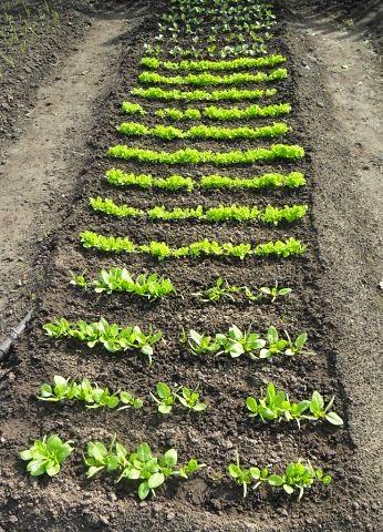 29.05  Шпинат, салат, редиска из-за холодов растут очень медленно