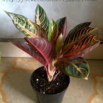 Anthurium bunga