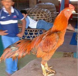 game cock pekanbaru