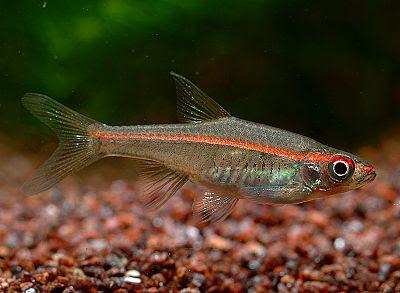 ... rasbora blueline rasbora elegans rasbora green eye rasbora harlequin