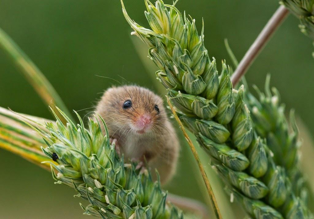 Matt's Photos: Harvest Mice