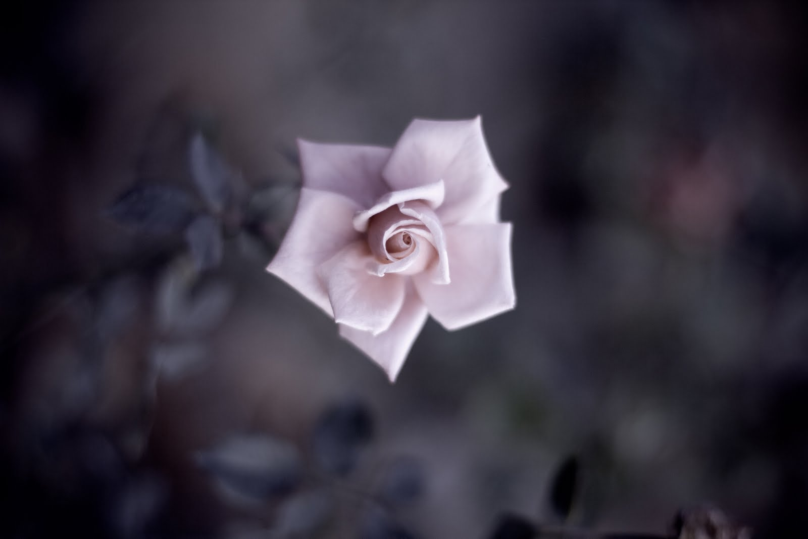 Imagenes De Craneos Con Rosas - Cráneos Y Rosas Imagenes de archivo Imagen 9110194