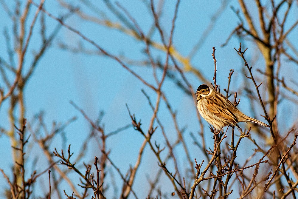 Reed Bunting (male) - Manor Farm, Milton Keynes