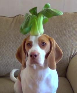 Δείτε τον Maymo, το μικρό beagle να ισορροπεί ένα 'μανάβικο' στο κεφάλι του