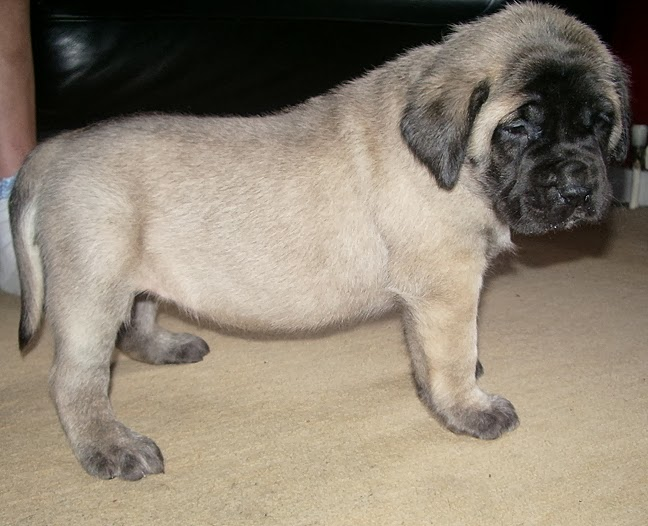 Dog breed directory english mastiff dog breed