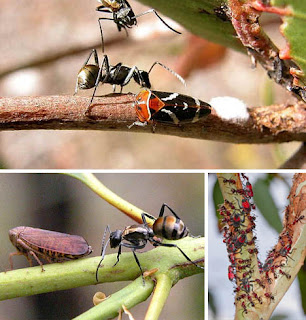 Foto Simbiosis Mutualisme Semut daging dan Kupu-kupu