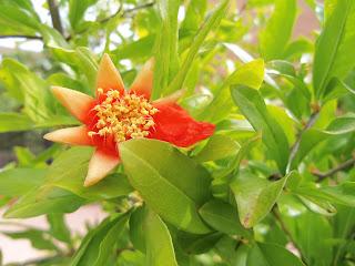 Foto flor del granado