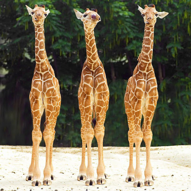 funny animal pics, animal photos, three baby giraffes