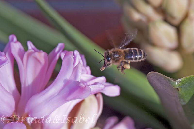 La magia de mi jardin son jacintos y la abeja lo sabe for Ahuyentar abejas jardin