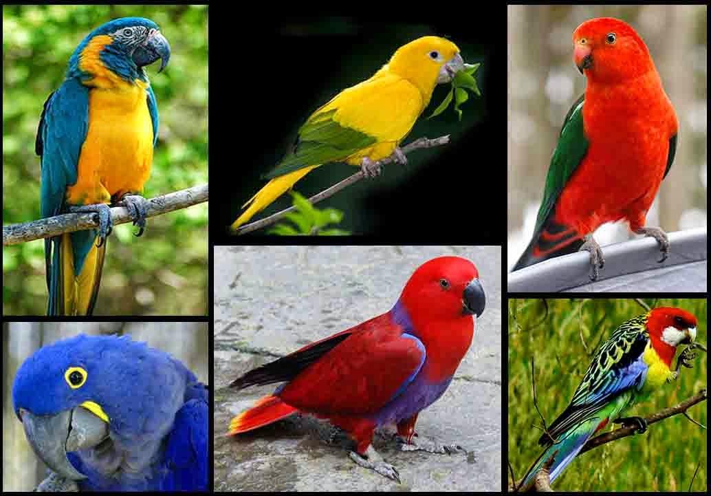 Aneka Macam Burung Warna Warni Jenis Paruh Bengkok Beo
