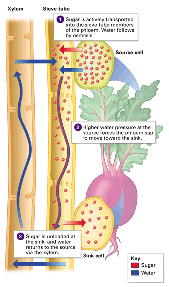 water and sugar transport in plants Transport of water and minerals in plants most plants secure the water and minerals they need from their roots one important example is the sugar maple when.