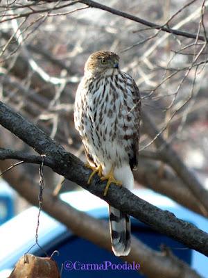 Hawk in a pear tree