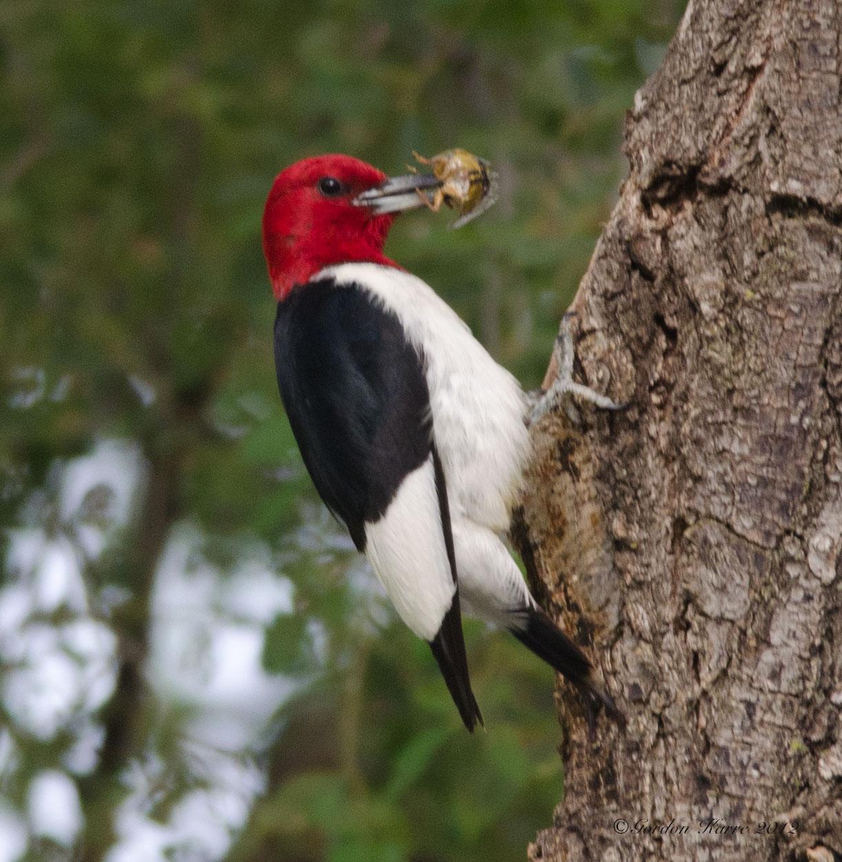 Redhead wood pecker